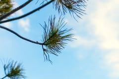 Sosny gałąź przeciw niebieskiemu niebu Fotografia Royalty Free