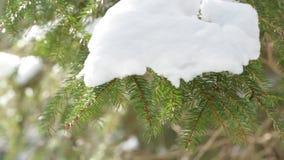 Sosny gałąź w śniegu zdjęcie wideo