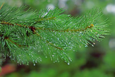 Sosny gałąź w deszczu opuszcza zbliżenie Obraz Stock