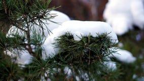 Sosny gałąź w górę śniegu zbiory