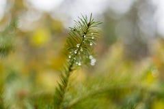sosny gałąź w Listopad jesieni lesie jako abstrakcjonistyczna grafika z b Zdjęcia Royalty Free