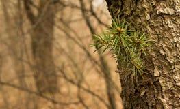 Sosny gałąź w magicznym lesie Obraz Royalty Free