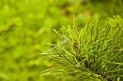 Sosny gałąź z pająk siecią Obraz Royalty Free
