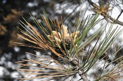 Sosny gałąź z rożkami w pogodnym zima lesie fotografia stock