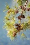 Sosny gałąź z rożkiem w Mali Losinj, Chorwacja Zdjęcie Royalty Free