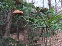 Sosny gałąź, zakończenie las jesieni Obraz Stock