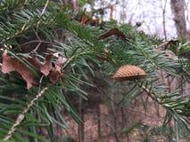 Sosny gałąź, zakończenie las jesieni Zdjęcie Stock