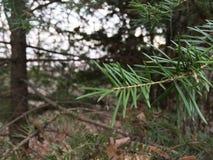 Sosny gałąź, zakończenie las jesieni Obrazy Stock