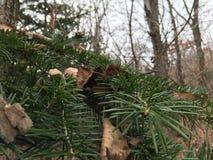 Sosny gałąź, zakończenie las jesieni Zdjęcie Royalty Free