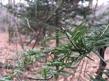 Sosny gałąź, zakończenie las jesieni Fotografia Stock