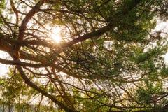Sosny gałęziasty wiecznozielony, sezon igielny, dekoracyjny, zima, świerczyna, Fotografia Royalty Free