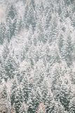 Sosny I świerczyna, jedliny Zakrywali Pierwszy śnieg W Greenwood lesie zdjęcia stock
