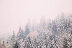 Sosny I świerczyna, jedliny Zakrywali Pierwszy śnieg W Greenwood lesie fotografia royalty free