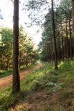 Sosny i lasowa droga Zdjęcia Stock