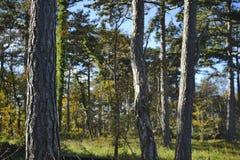 Sosny jesieni popołudnia lasowy słońce Zdjęcie Stock