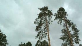 Sosny kiwają w wiatrze podczas burzy i padają przeciw tłu grzmot chmury zbiory wideo