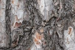 Sosny korowata tekstura zdjęcie royalty free