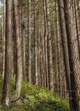 sosny leśne obraz stock