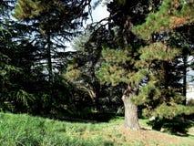 sosny leśne Fotografia Stock