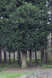 sosny leśne Obrazy Stock