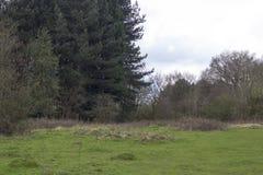 sosny leśne Obrazy Royalty Free