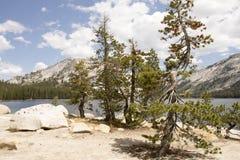 Sosny na bankach Tenaya jezioro, Yosemite Obraz Royalty Free