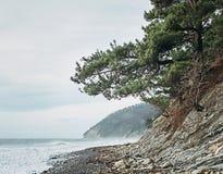 Sosny na otoczaka wybrzeżu Zdjęcie Stock