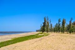 Sosny na plaży Obrazy Stock