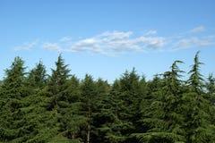 Sosny przeciw niebieskiemu niebu Zdjęcie Royalty Free