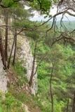 Sosny r na stromym skłonie skała, pod którą jest zielony las fotografia stock