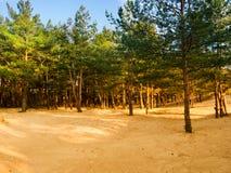 Sosny r z piaska na brzeg zatoka Finlandia Fotografia Stock