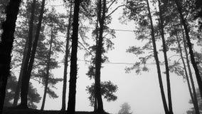 Sosny są pośród mgły w ranku, czarny i biały wizerunki dla tła fotografia stock