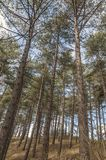 Sosny stoi wpólnie w lesie fotografia royalty free