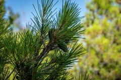 Sosny szyszkowy dorośnięcie na drzewie w Malaga, Hiszpania, Europa obraz stock