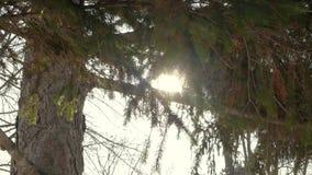 Sosny tło w słonecznym dniu zdjęcie wideo