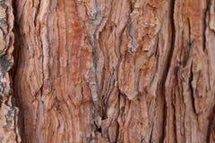 Sosny tekstury korowatego tła antycznej sosny stara cedrowa klonowa świerczyna Zdjęcia Royalty Free