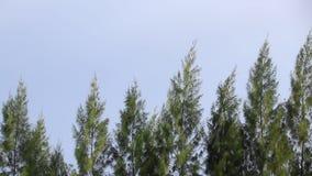 Sosny uderzają wiatr zdjęcie wideo