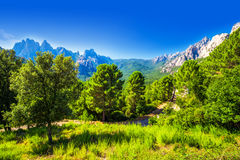 Sosny w Col De Bavella górach blisko Zonza miasteczka, Corsica obrazy royalty free