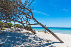 Sosny w Maria Pia plaży zdjęcia royalty free
