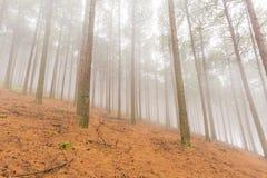 Sosny w mgle Obrazy Stock