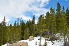 Sosny z śniegiem na słonecznym dniu Zdjęcie Royalty Free