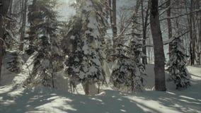 Sosny zakrywać z śniegiem na mroźnym wieczór zdjęcie wideo