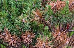 Sosny zieleń i palący brown igieł suchy pogodowy niebezpieczeństwo rośliny ecolgical obraz stock