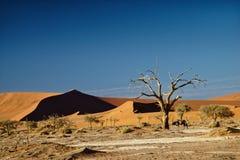 Sossusvlei纳米比亚,在camelthorn树旁边的羚羊属 库存照片