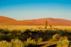 Sossusvlei öken, Namibia orange dyn och dött akaciaträd i Sossusvlei, Namibia royaltyfria foton