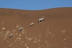 sossusvlei Намибии gemsbok Стоковое фото RF