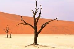 Sossusvlei :死的金合欢树在纳米比亚沙漠,纳米比亚 库存图片
