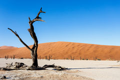 Sossusvlei beautiful landscape of death valley, namibia. Sossusvlei beautiful sunrise landscape of hidden death valley in Namibian desert with blue sky, best Royalty Free Stock Photo