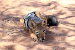 Sossusvlei com o dorso negro Namíbia do chacal Foto de Stock