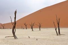 Sossusvlei: dead acacia trees. In the Namib Desert, Namibia royalty free stock photography